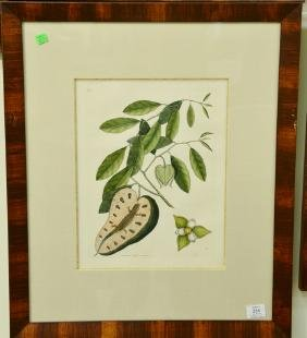 "Pair of Mark Catesby hand colored engravings ""Lacertus"""