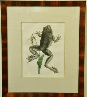 "Three Mark Catesby hand colored engravings ""Rana"