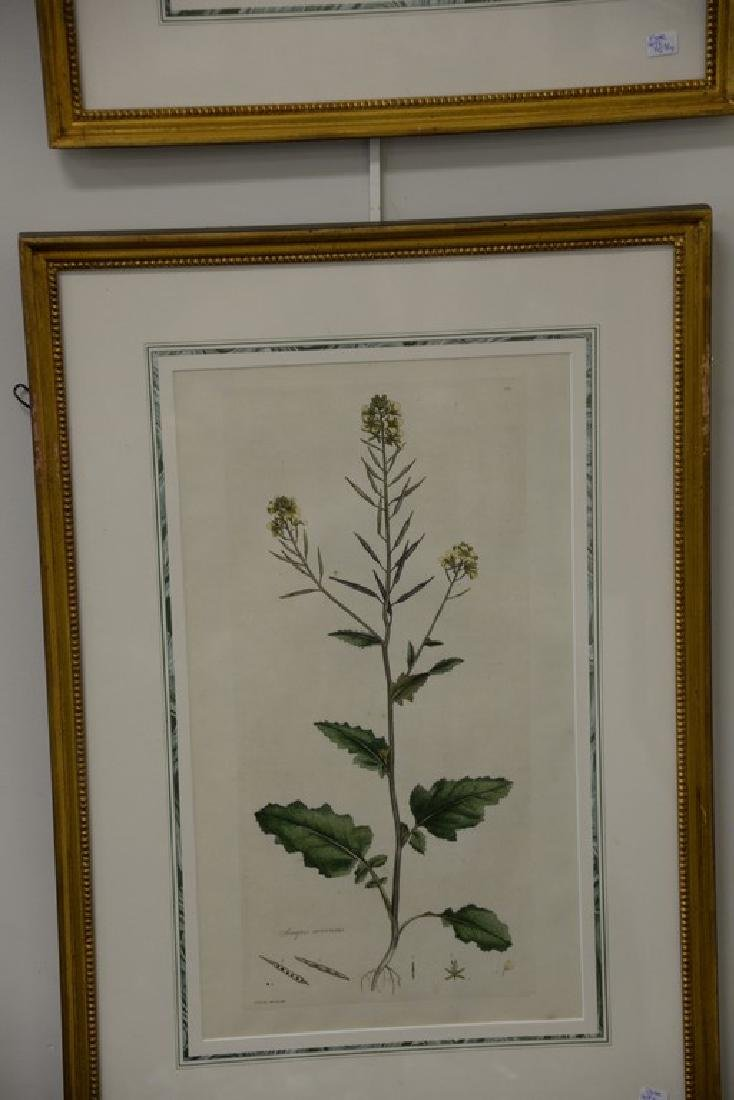 Five James Sowerby Botanical hand colored engravings - 3