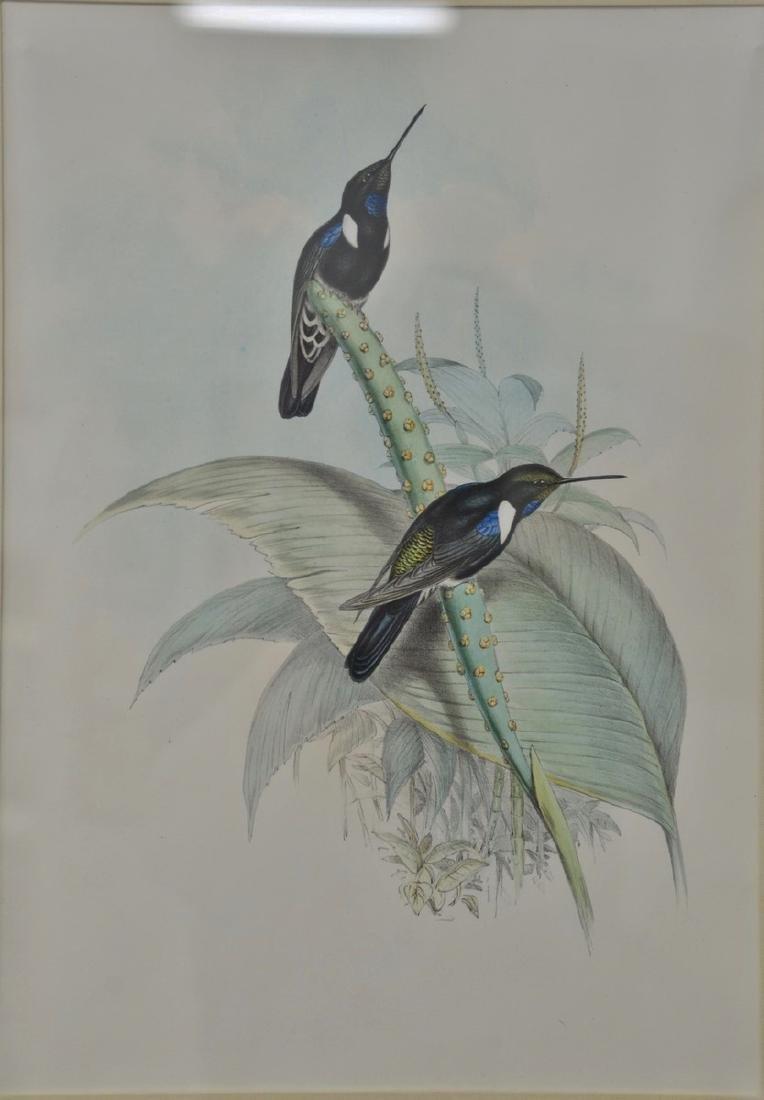 John Gould, hand colored lithograph, Hummingbird, sight