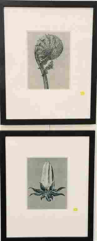 Six Karl Blossfeldt framed images depicting forms from