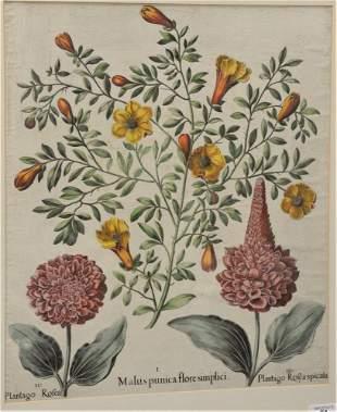 "After Basilius Besler (German, 1561 - 1629), ""Malus"
