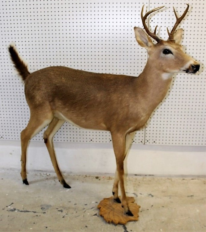 Full Size Mounted Deer