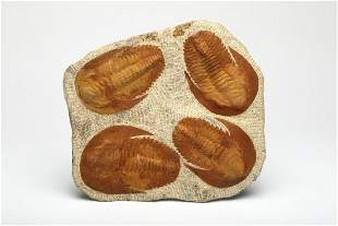 Trilobite Fossils in Matrix Multiple in One
