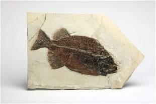 Large Specimen Phareodus Fish in Matrix Fossil