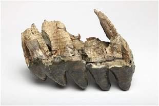 Large Ancient Fossil Mastodon Teeth Jaw Portion