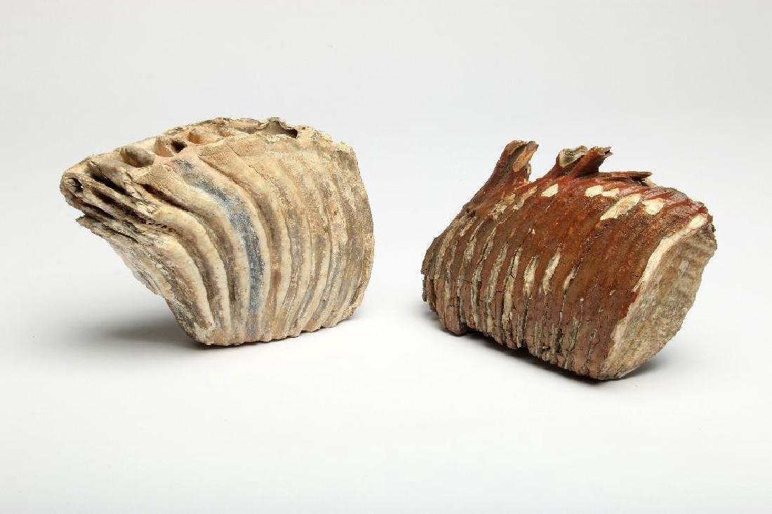 Two North American Wooly Mammoth Molar Teeth