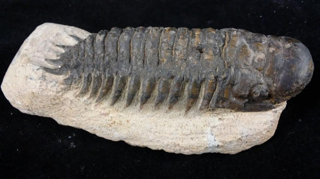 TRILOBITE MOROCCAN LARGE FOSSIL GEMS MINERALS