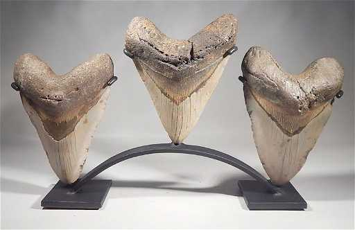 megalodon fossil shark teeth display stand huge