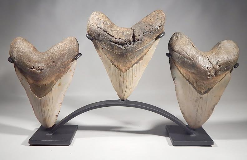 MEGALODON FOSSIL SHARK TEETH DISPLAY STAND HUGE