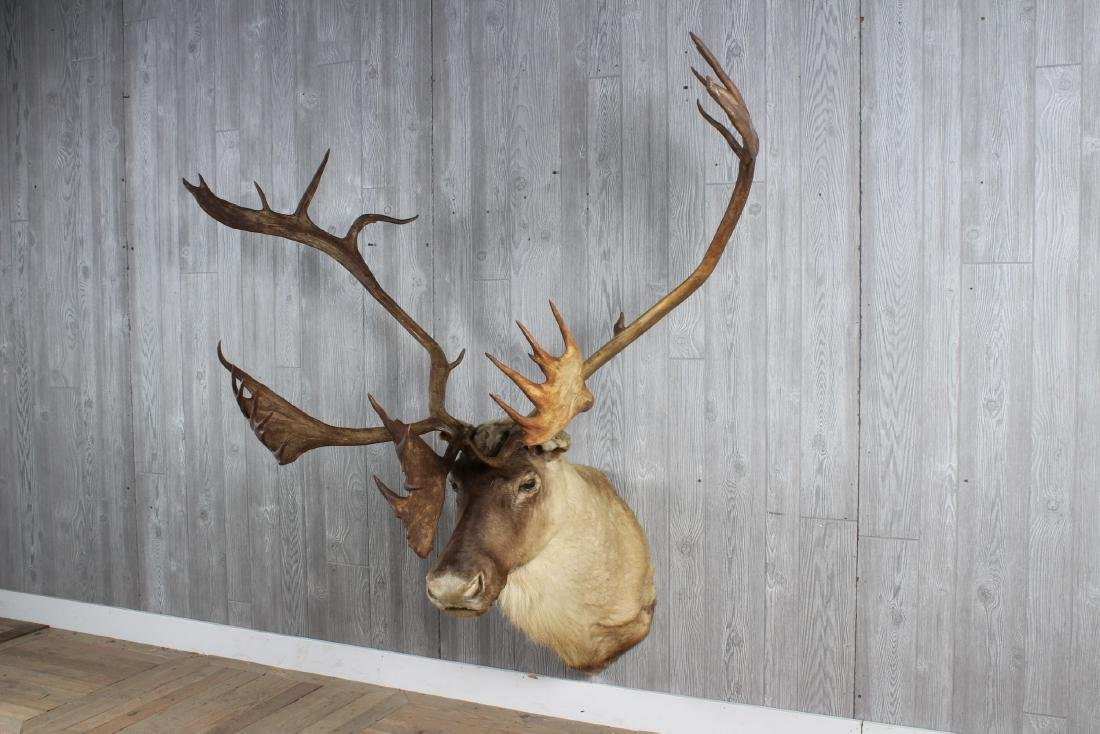 Natural Caribou Trophy Mount