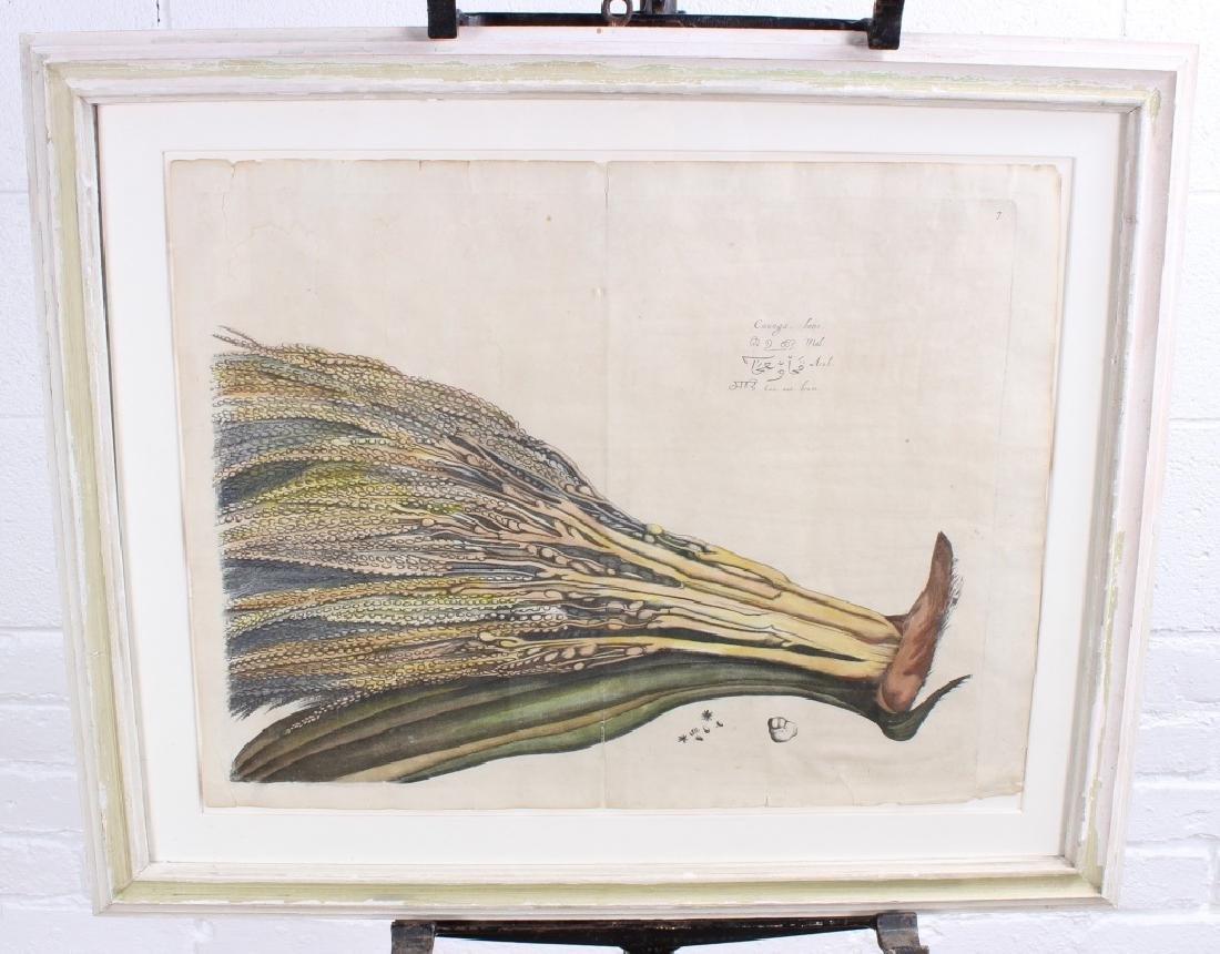 Drakenstein Antique Hand Colored Botanical Print