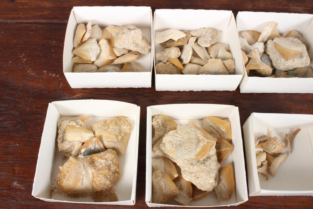 7 Boxes Fossil Shark Teeth - 3