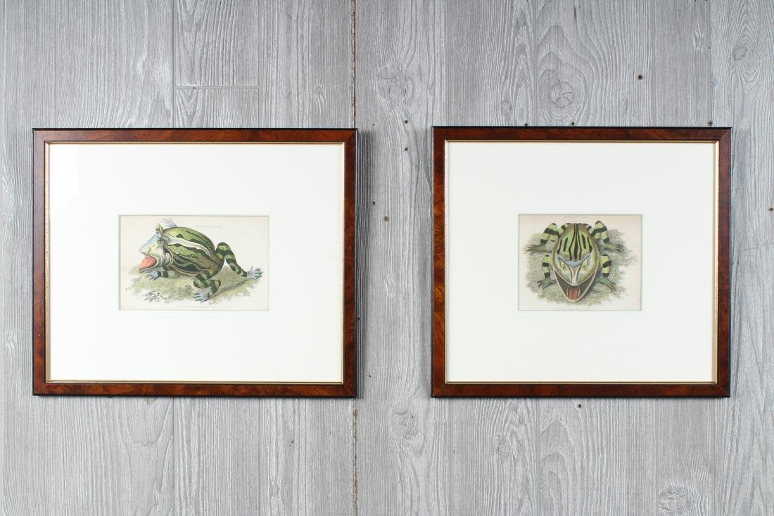 2 Antique English Colored Toad Species Etchings - 2