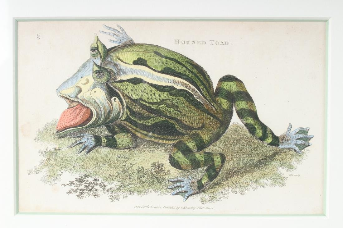 2 Antique English Colored Toad Species Etchings - 3