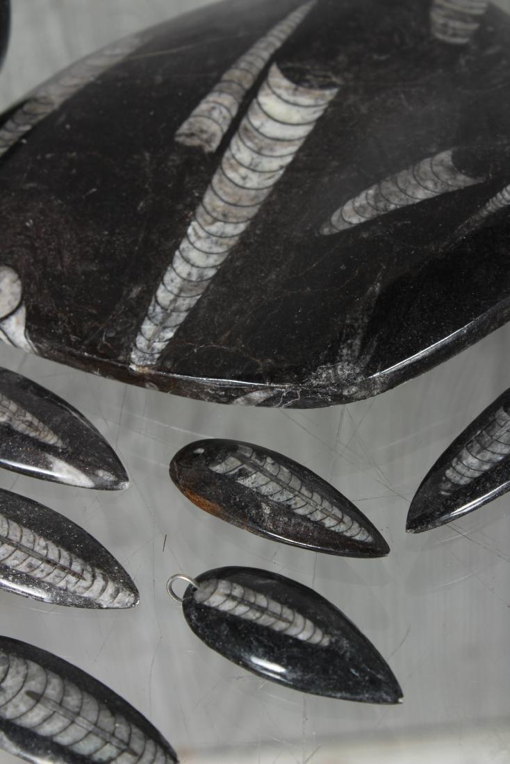 Lot of Polished Orthoceras Fossils - 2