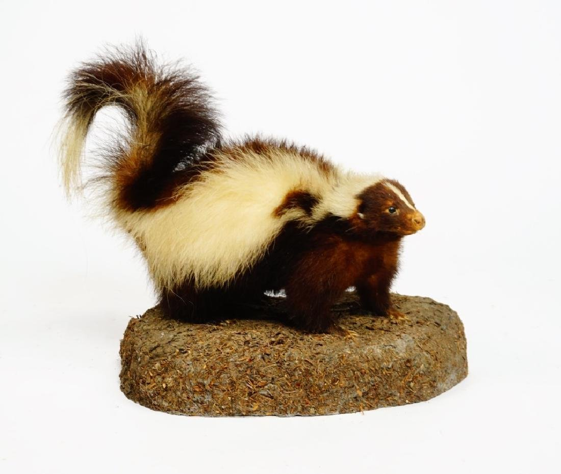 TAXIDERMY AND MOUNTED SKUNK