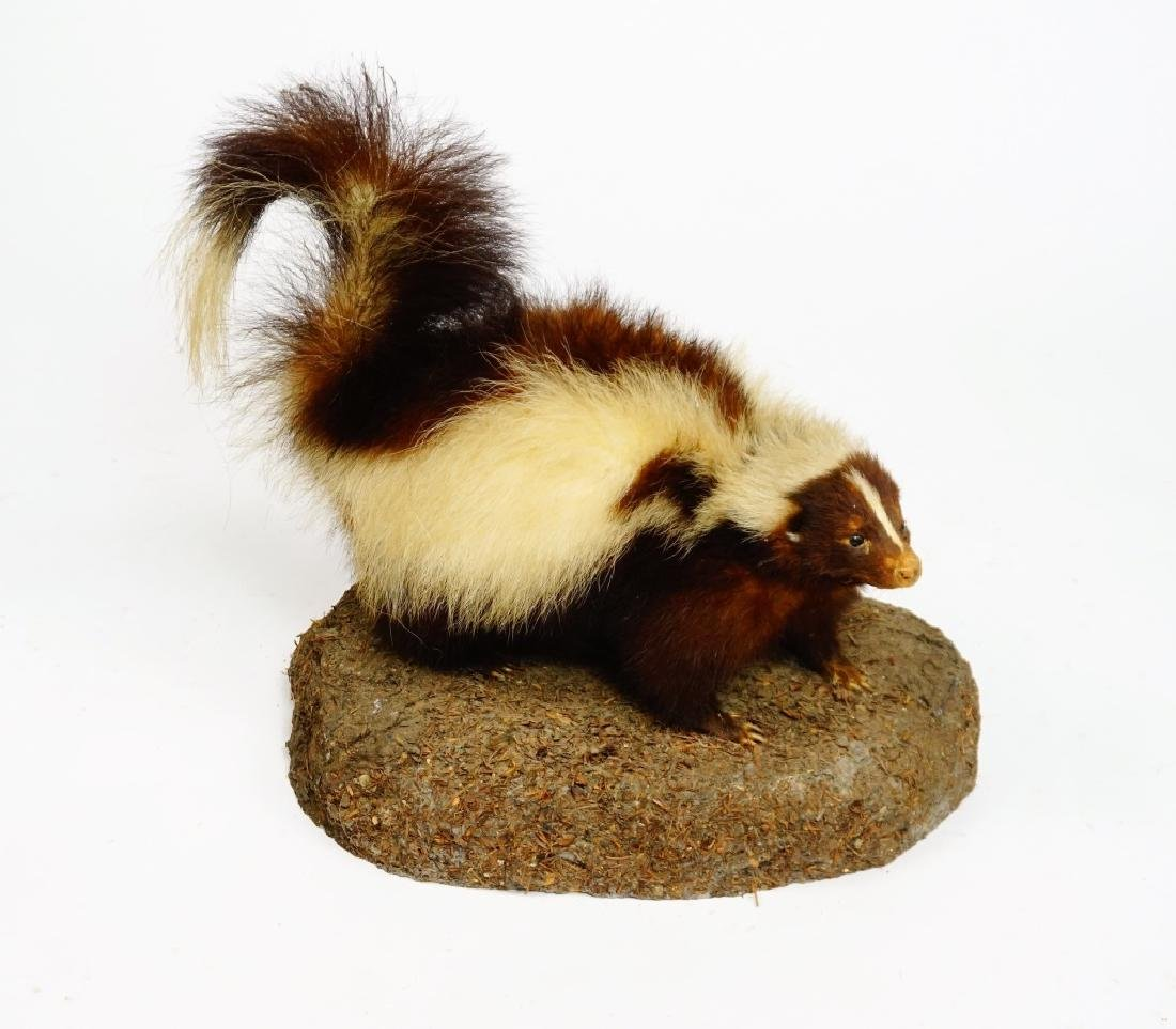 TAXIDERMY AND MOUNTED SKUNK - 2