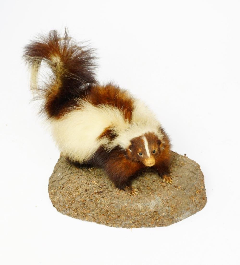 TAXIDERMY AND MOUNTED SKUNK - 3