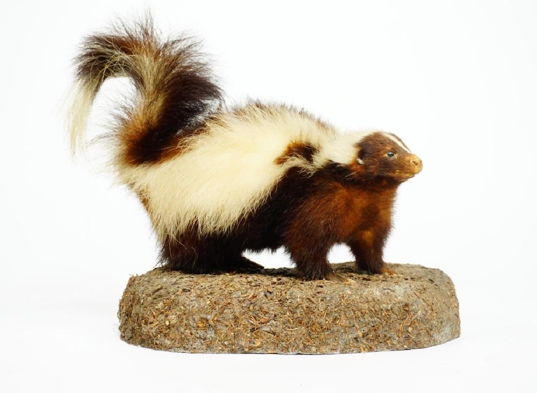 TAXIDERMY AND MOUNTED SKUNK - 4