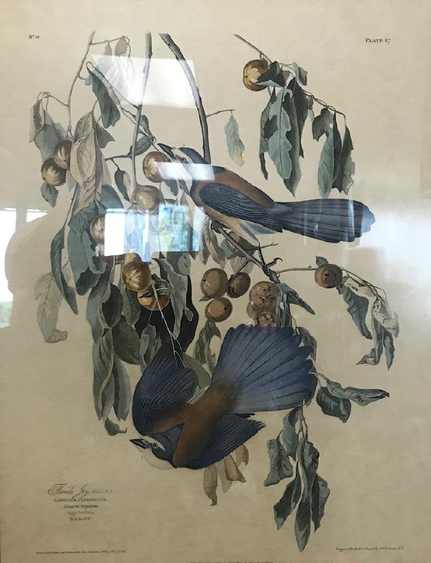 Framed Florida Jay - Garrulus FloridanusLithograph