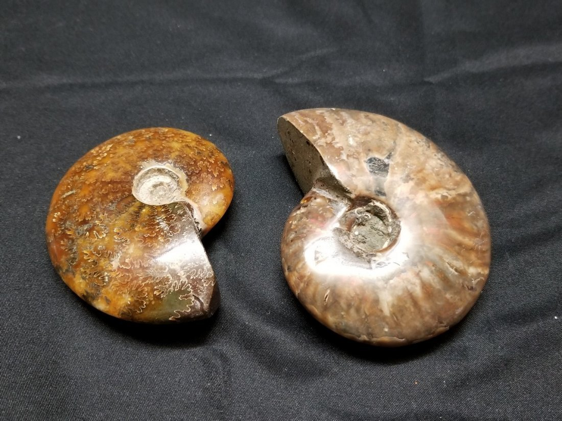 2 snail fossil