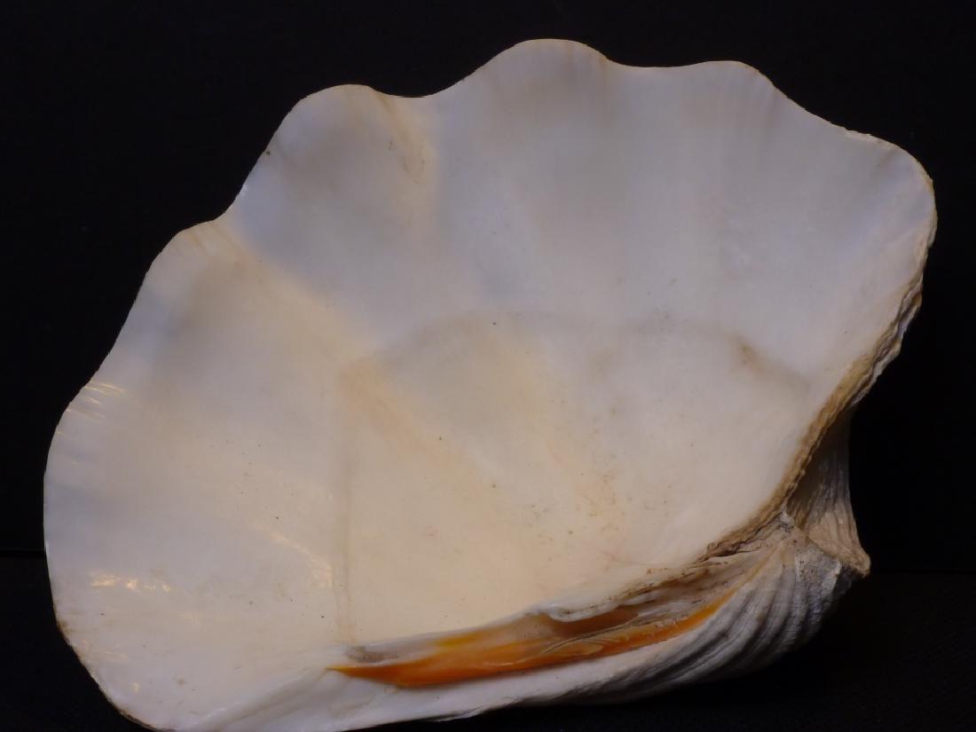 Large Tridacna Half Clam Shell