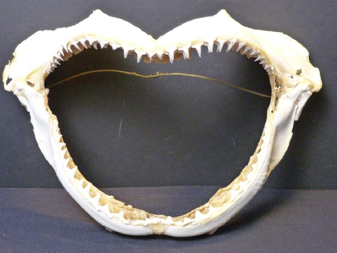 Bull Shark Jaw w/Teeth