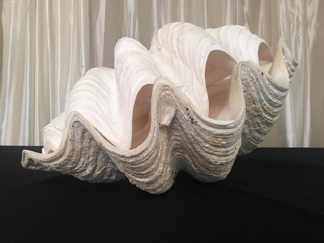 """Giant Vintage Tridacna Clam Shell 24"""" Pair"""