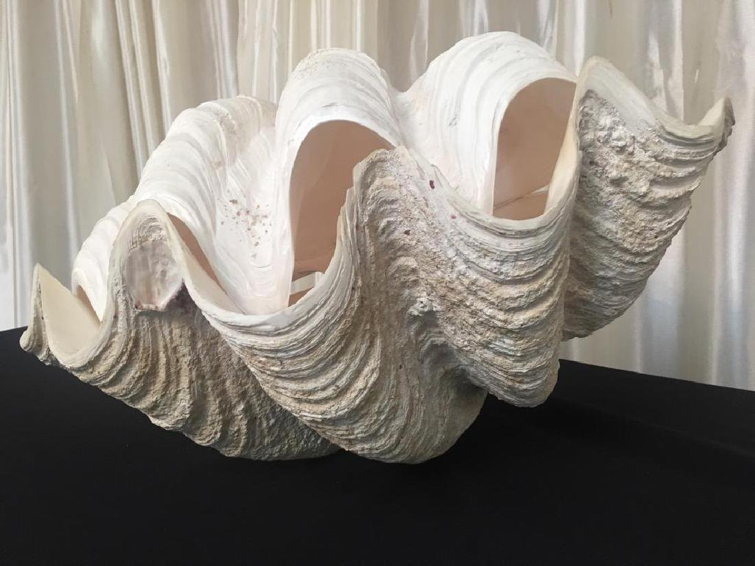 """Giant Vintage Tridacna Clam Shell 24"""" Pair - 2"""