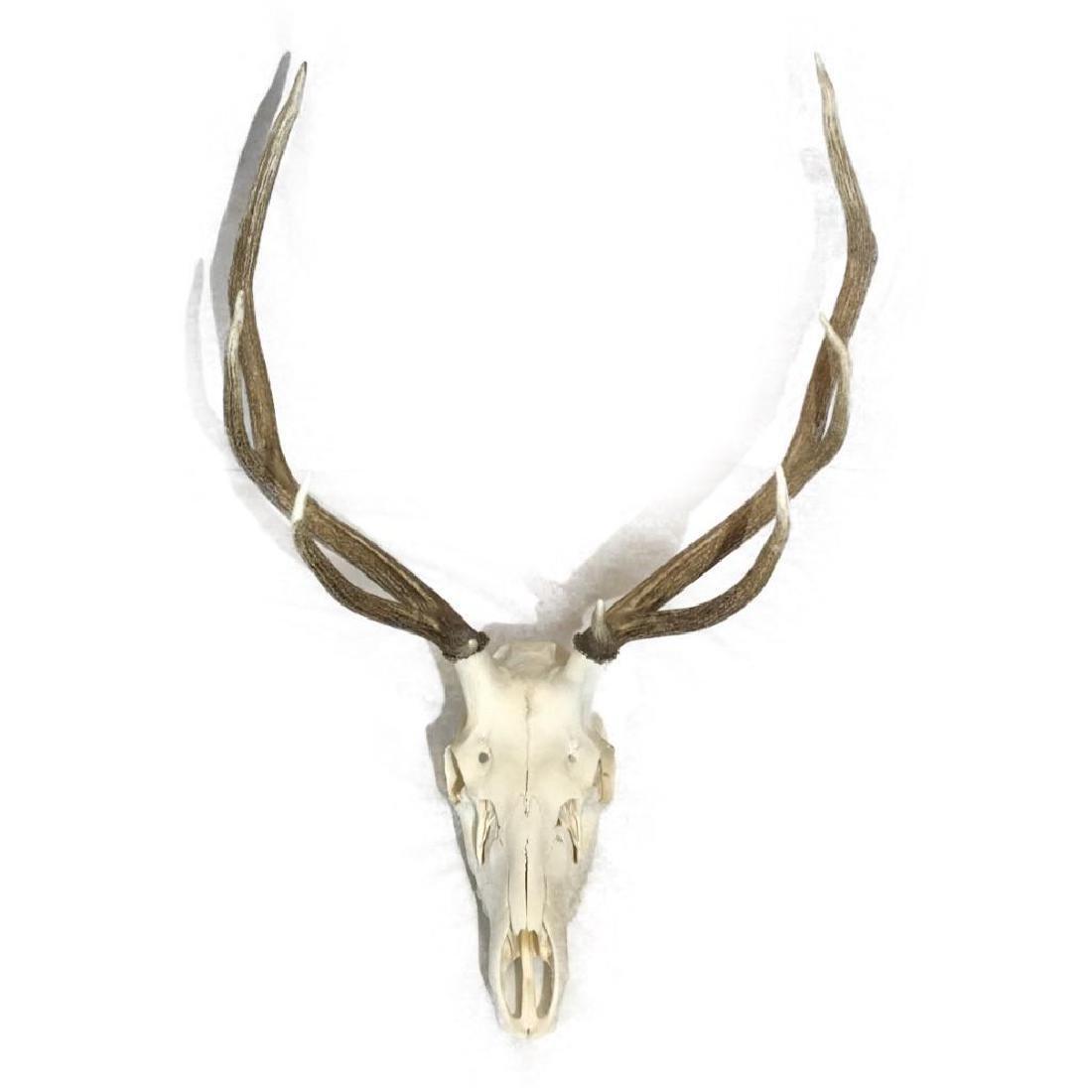 Nine Point Elk Skull