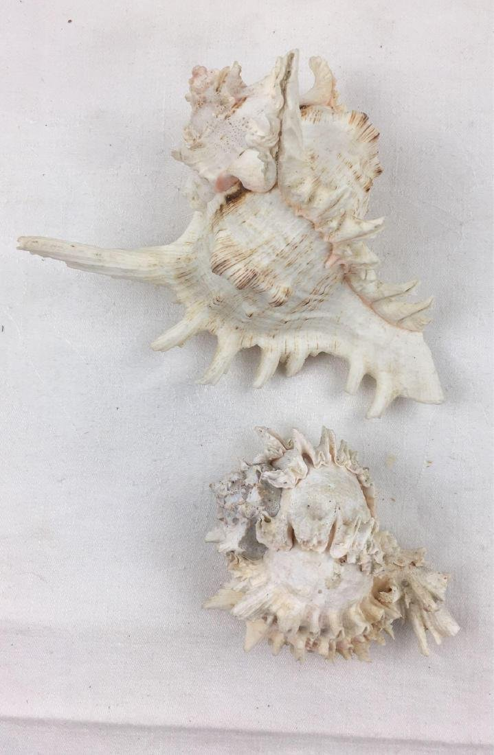 Gorgeous Spiky Conch Shell Nautical Lot