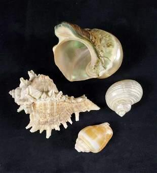 Polished Nautical Seashells Lot Of Four A