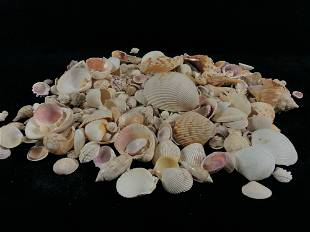 Vintage Lot Of Mixed Size & Species Natural Sea Shells