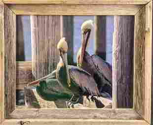 Framed Photograph Of Two Pelicans
