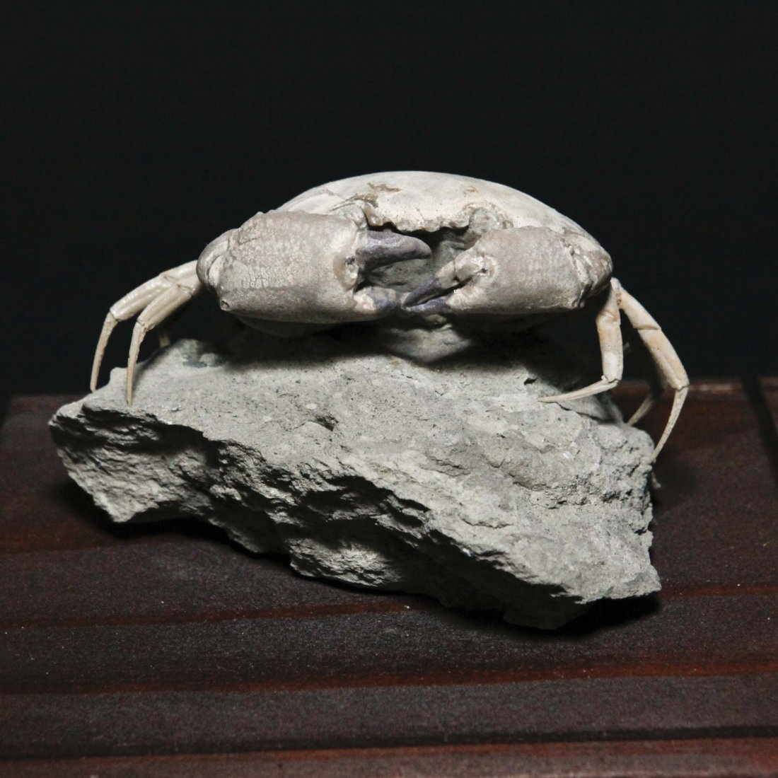 Fossilized Crab, Italy