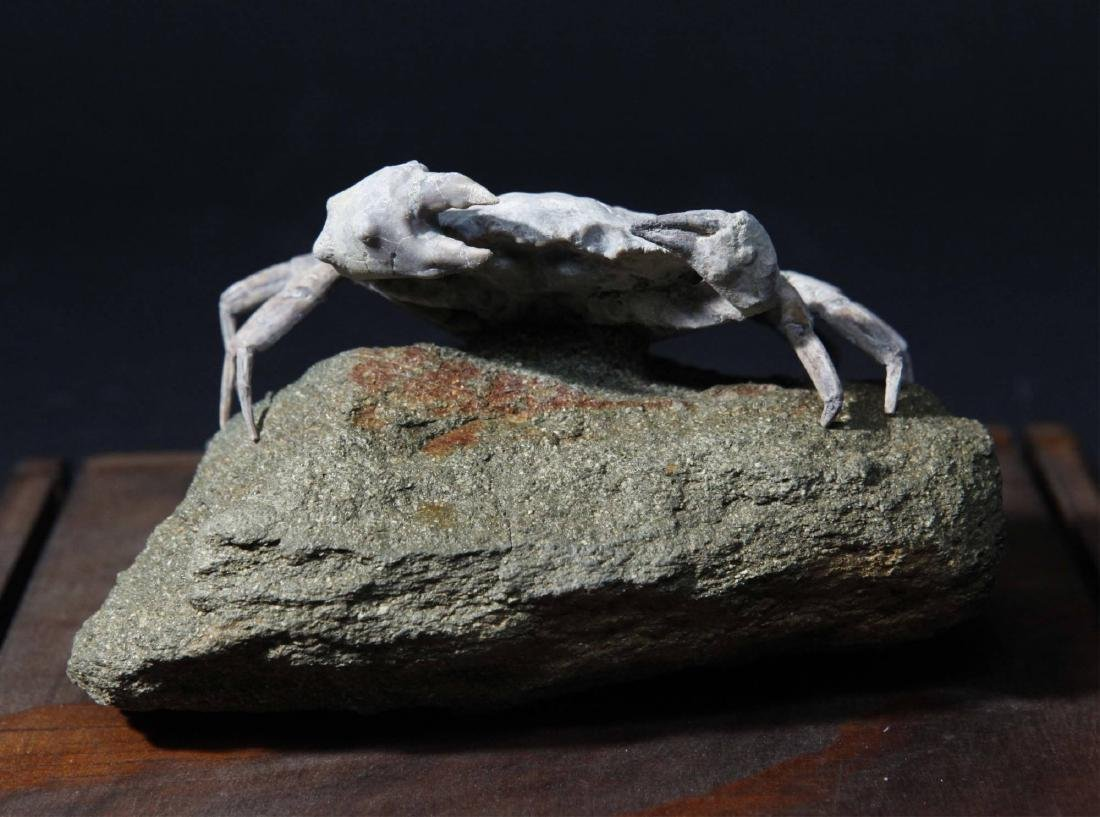 Fossil Crab Xanthopsis Dufouri, Spain