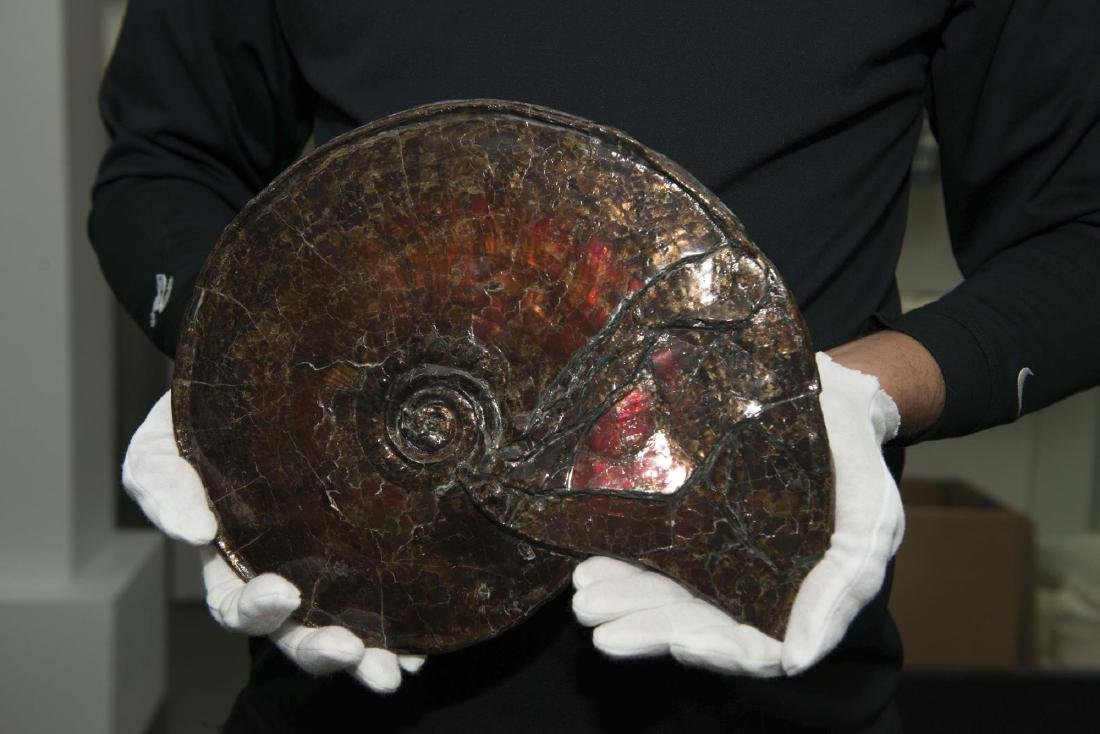 Iridescent  Ammonite, Canada