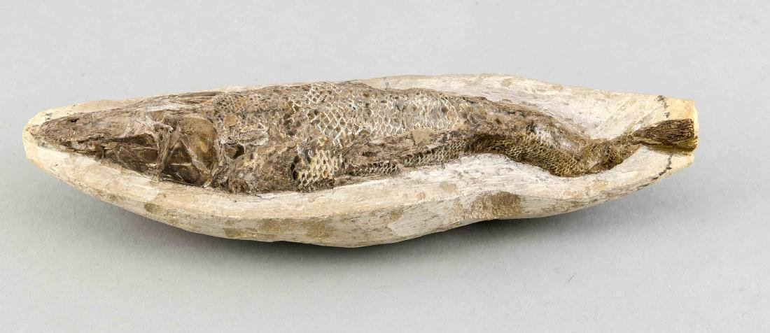 Fossil, versteinerter