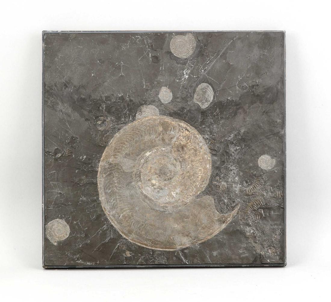 Fossil eines Harpoceras (Gruppe der Ammoniten), Lias,