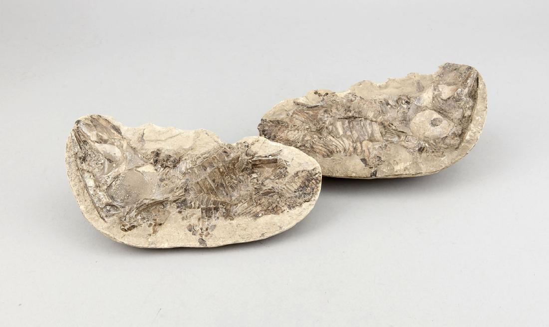 2 Hälften eines Fossils. Alter, Zeit und Tierart