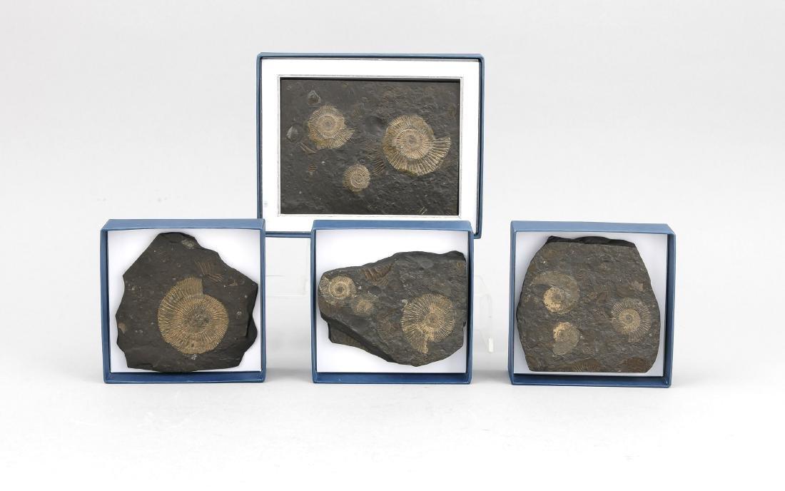 4 kleine Ölschieferplatten mit Ammoniten, Holzmaden,