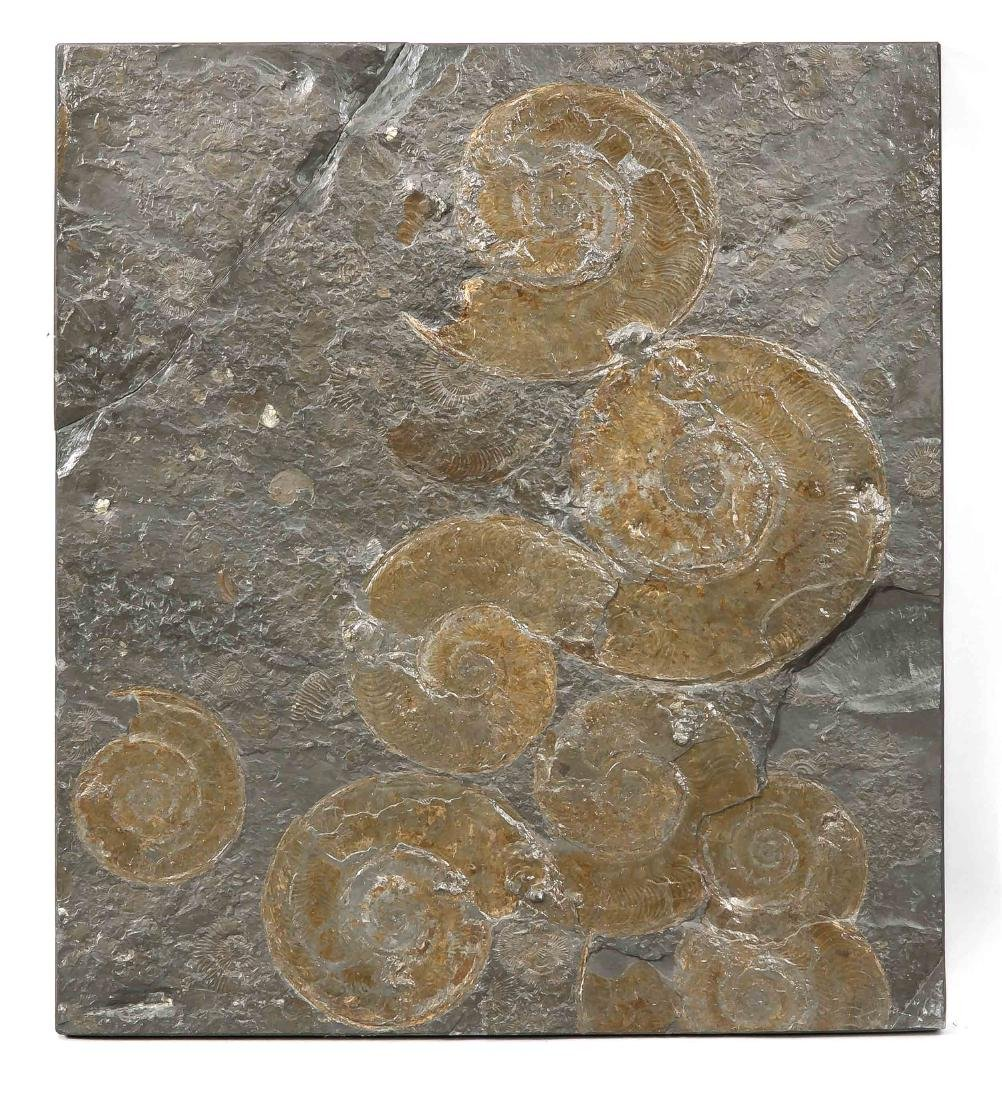 Platte mit Ammoniten, Posidonienschiefer, Holzmaden,
