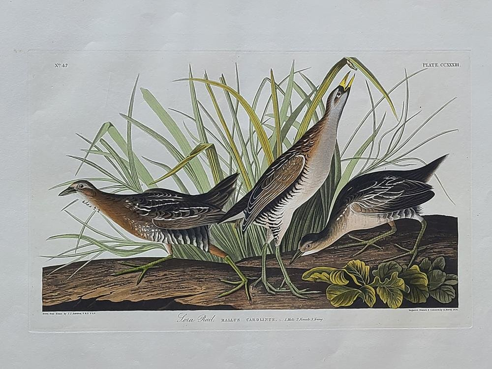 Original aquatint engraving, John James Audubon