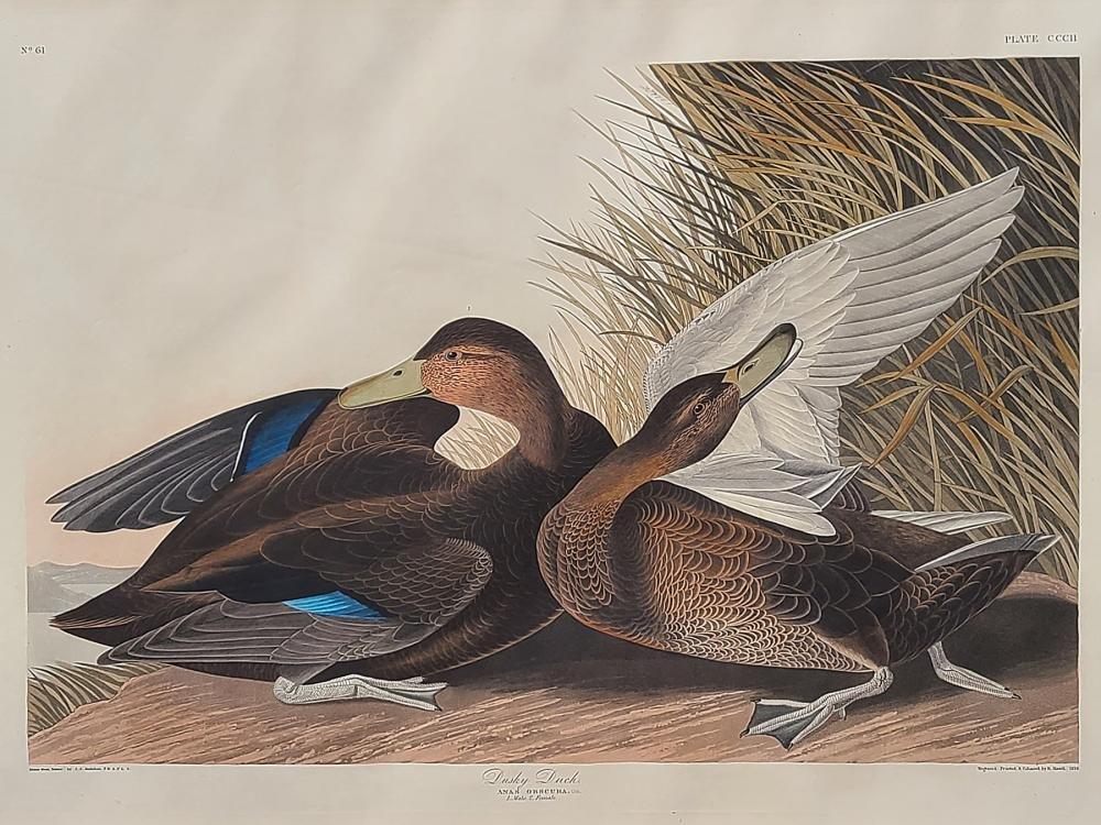 Original aquatint engraving, John James Audubon