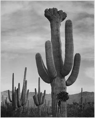 Adams - Cactus in Saguaro National Monument 2 in
