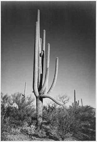 Adams - Cactus in Saguaro National Monument in Arizona