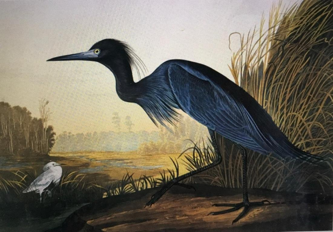 Little Blue Heron, Lithograph After Audubon by M.