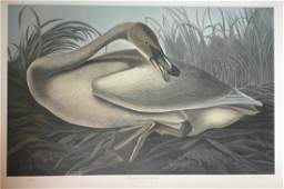 Lithograph, Trumpeter Swan, Juvenile, by M B Loates