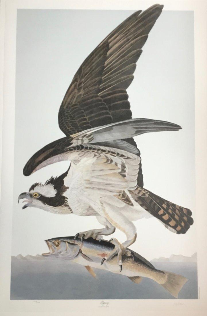 Audubon Osprey